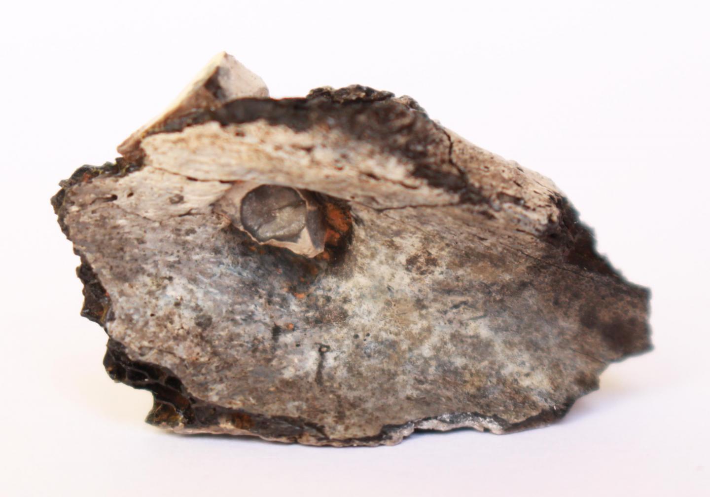 Flint point thrust inside a burnt shoulder blade.