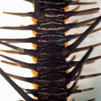 Close-Up of the Arm Plates of Ophiocoma wendtii