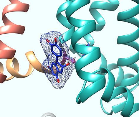 Tea flavonoid epicatechin gallate binding to base of the voltage sensor
