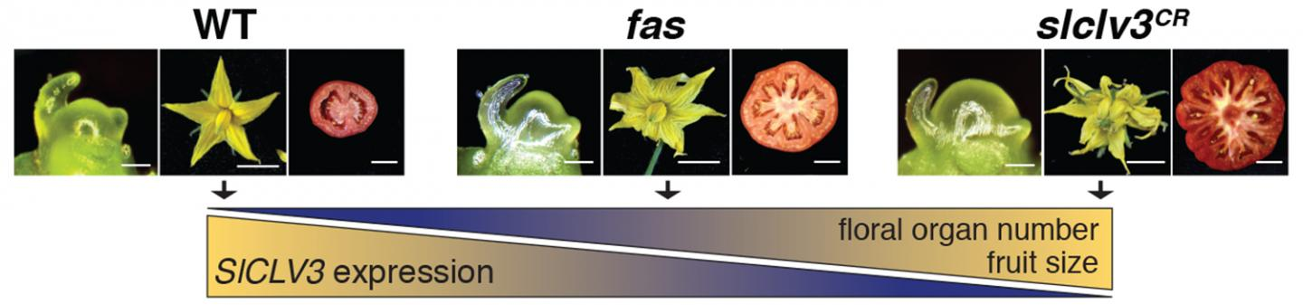 Editing a Genome to Make Plants Yield More