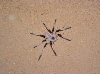 New Spider Species <I>Cerbalus aravensis</I> (2 of 3)