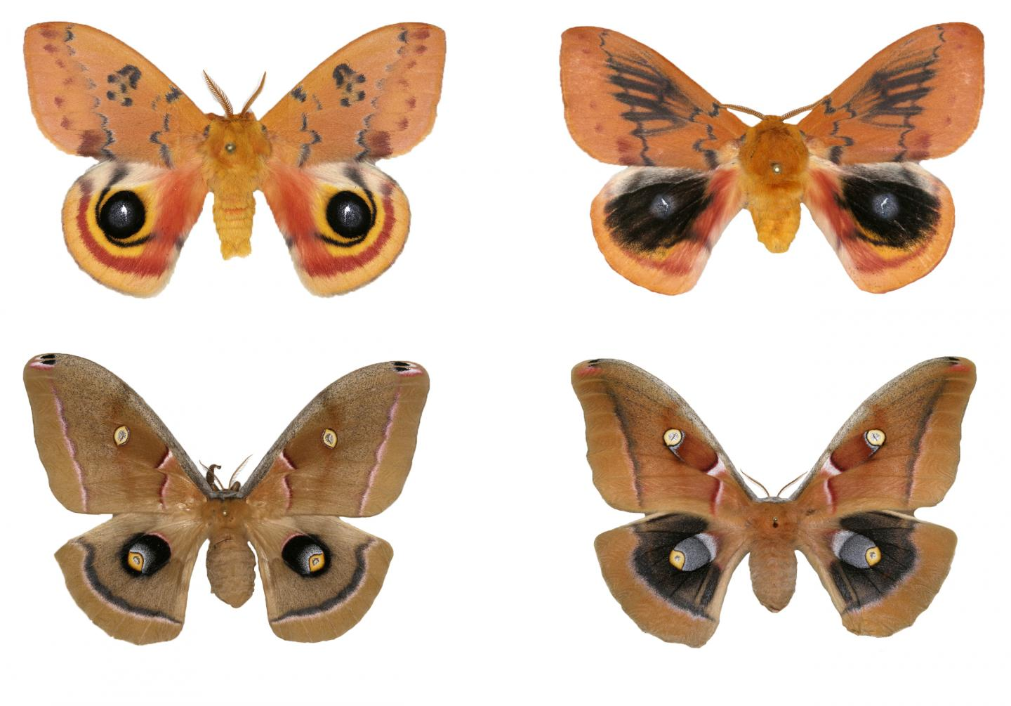 Wing Pattern Develops Differently in Moths in Same Family