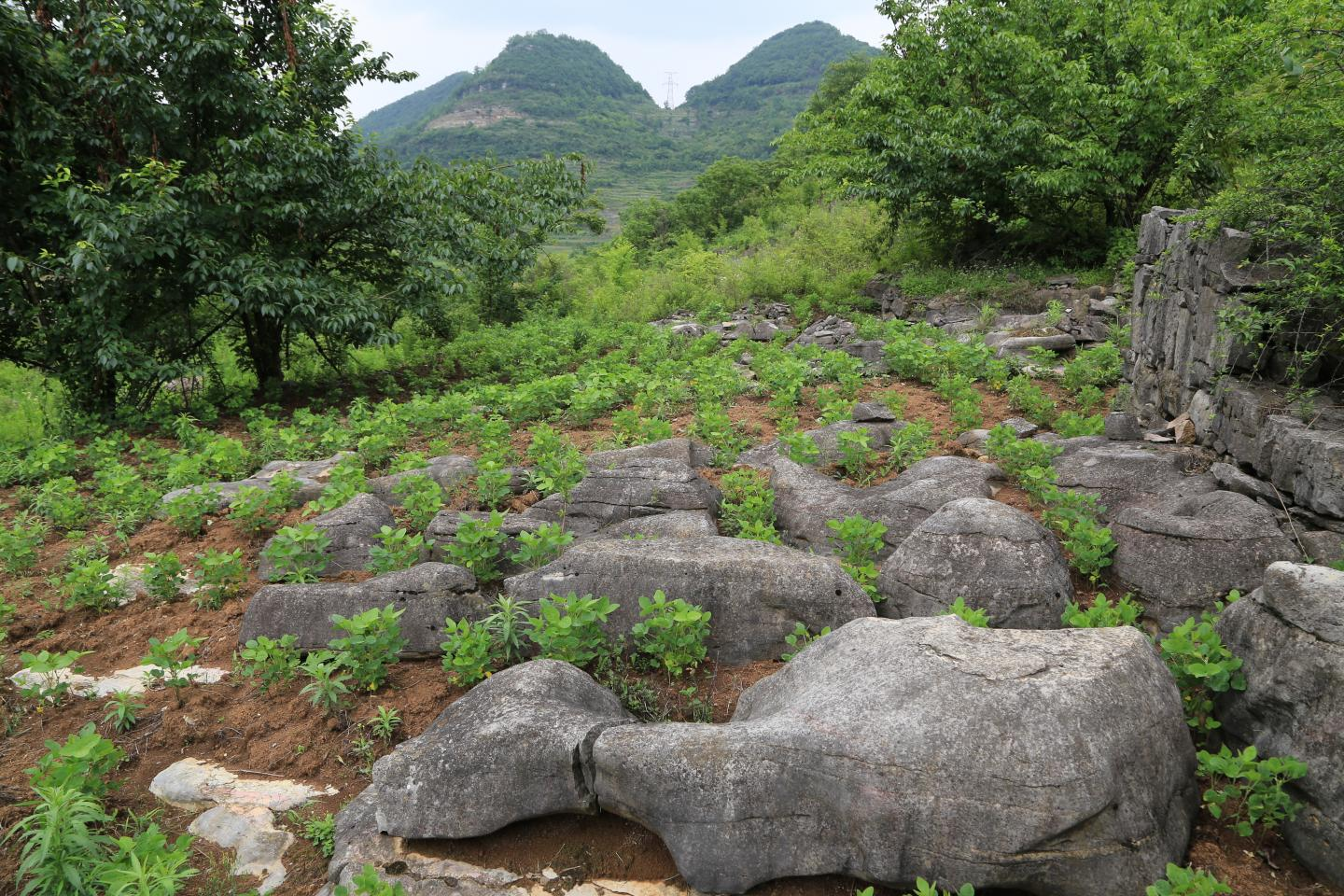 Rocky desertification exposing bedrock in the Chenqi catchment in the Karst Critical Zone Observatory Guizhou Province, China