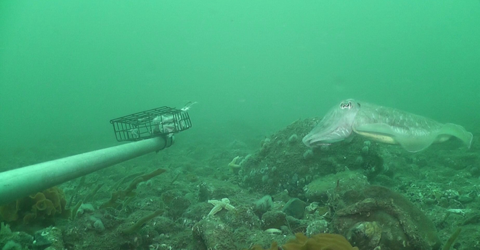 Cuttlefish (Sepia officinalis)