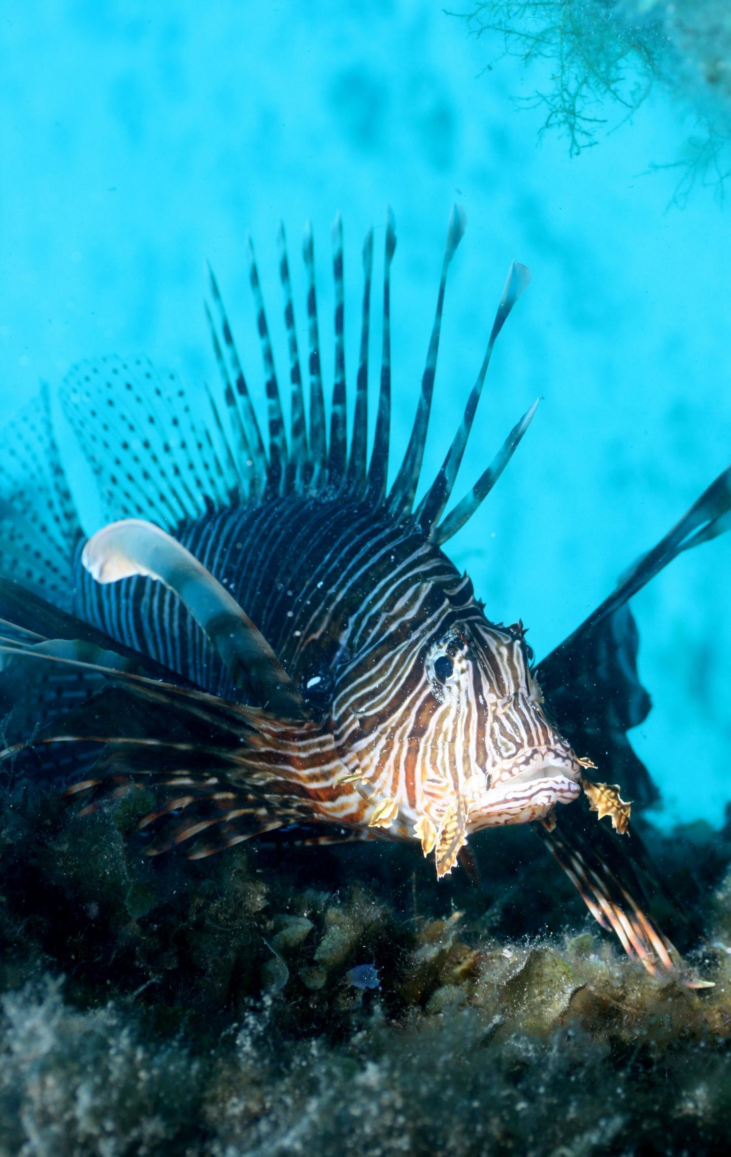 Lionfish in the Mediterranean