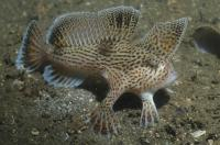 A Spotted Handfish