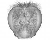 Head of a Bumblebee