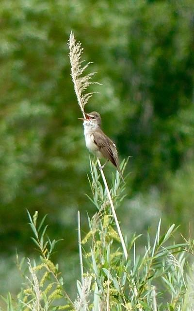 Great Reed Warbler 2