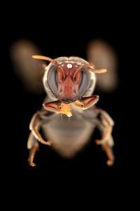 Masked Bee Species (Meroglossa gemmata)