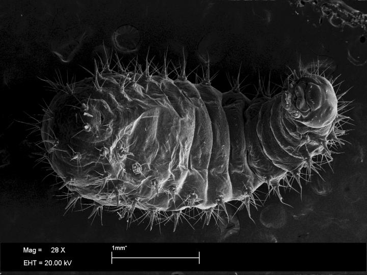 Third-Instar Trap-Jaw Ant Larva