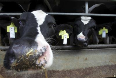 Cows Clock-in for Monitored Mealtimes (1 of 3)