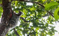 A Sunda Colugo, or Flying Lemur