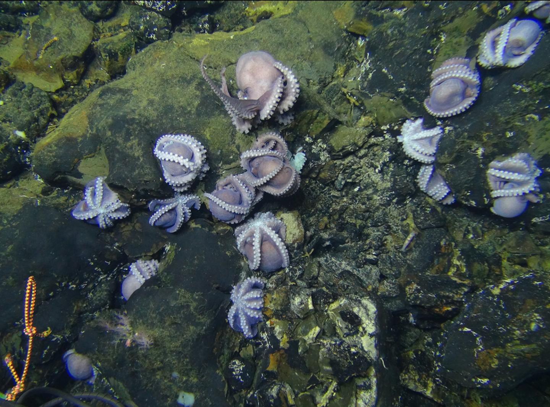 Dorado Octopus