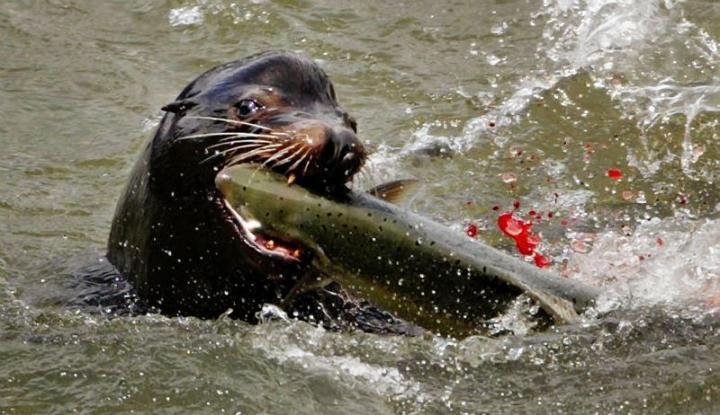 Sea lion and salmon