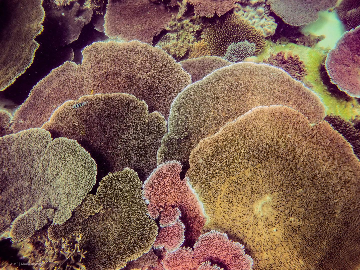 Table corals