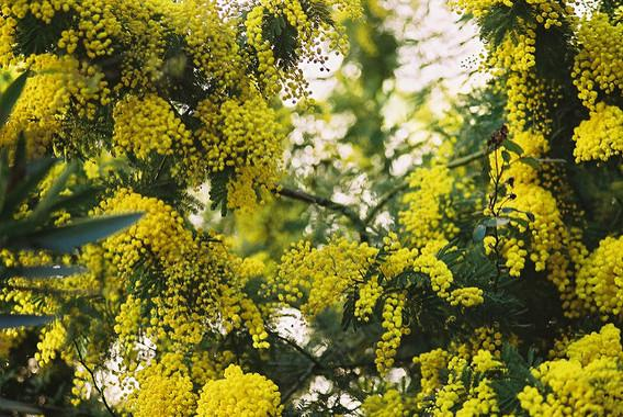 Acacias Are Invading Unaltered Areas in the Northwest of the Peninsula