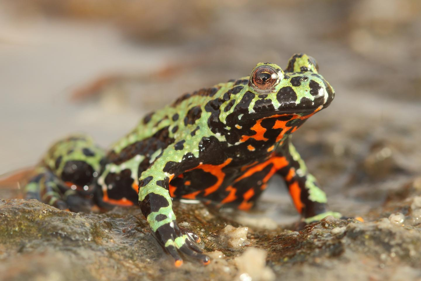 Fire Bellied Toad (2 of 2)