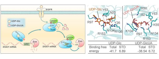 New Mechanism of Tumor Metastasis, and Binding Modes of UDP-Glc and UDP-GlcUA with HuR