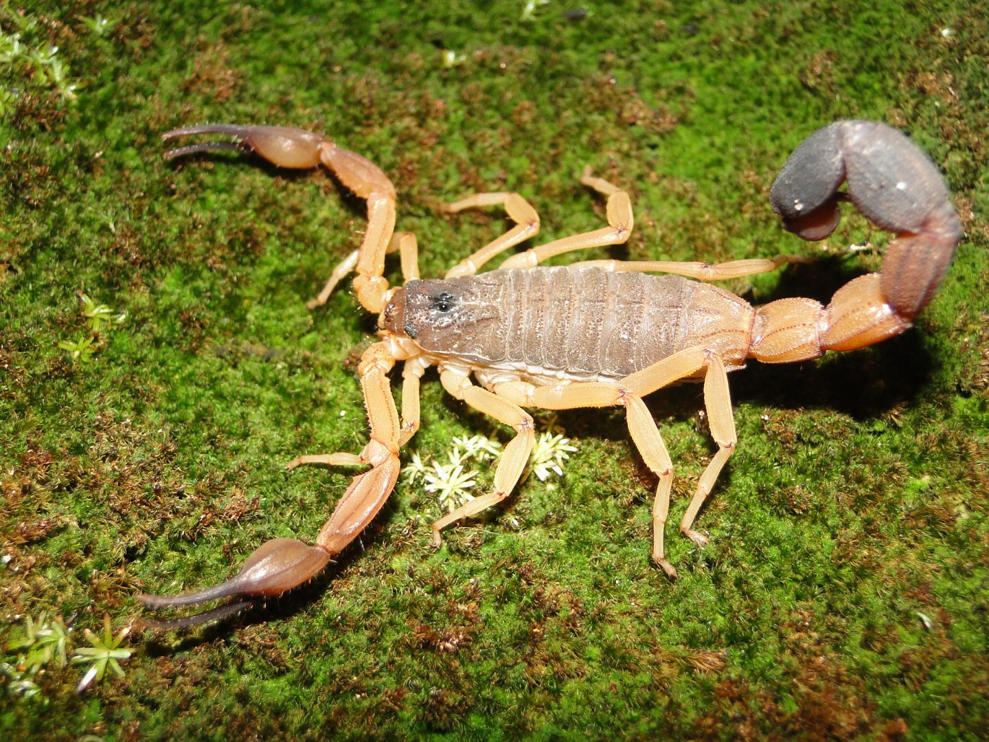 Known Species of the Club-Tailed Scorpion Group