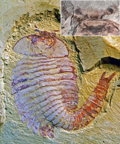<i>Fuxianhuia protensa</i> Specimen Showing the Earliest Fossilized Brain