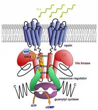 Structure of the Photoreceptor 2c-cyclop