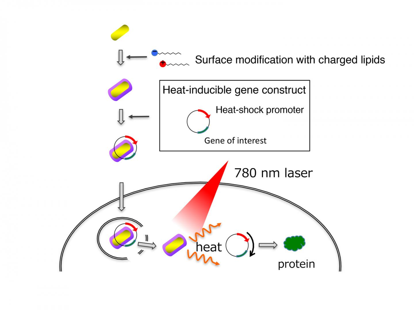 Image 1 Delivery and Activation of Genes by Gold Nanorods