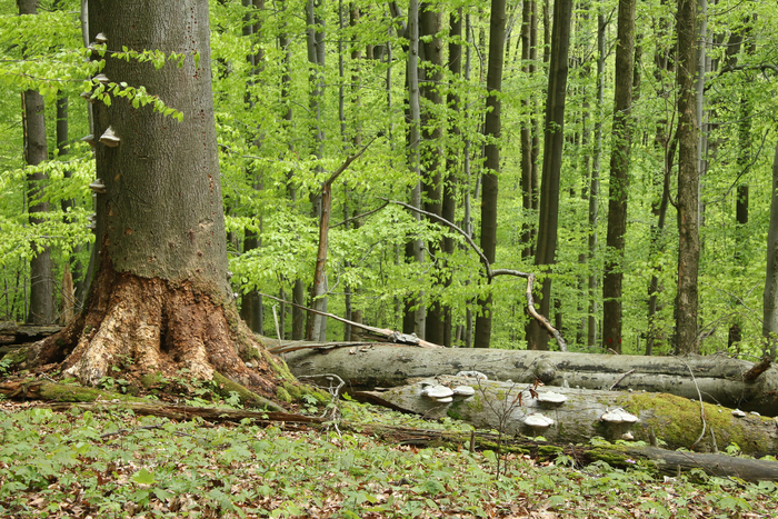 Deadwood in the beech forest near the ecological station of the University of Würzburg. Fungi have set about decomposing the logs.