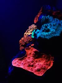 Fluorescent Coral in Mesophotic Reefs of the Red Sea
