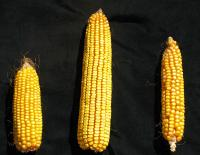 Corn's Genome Flexibility Makes It Adaptable to Changing Climate