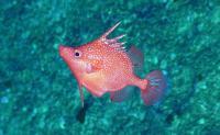 deepwater spike fish