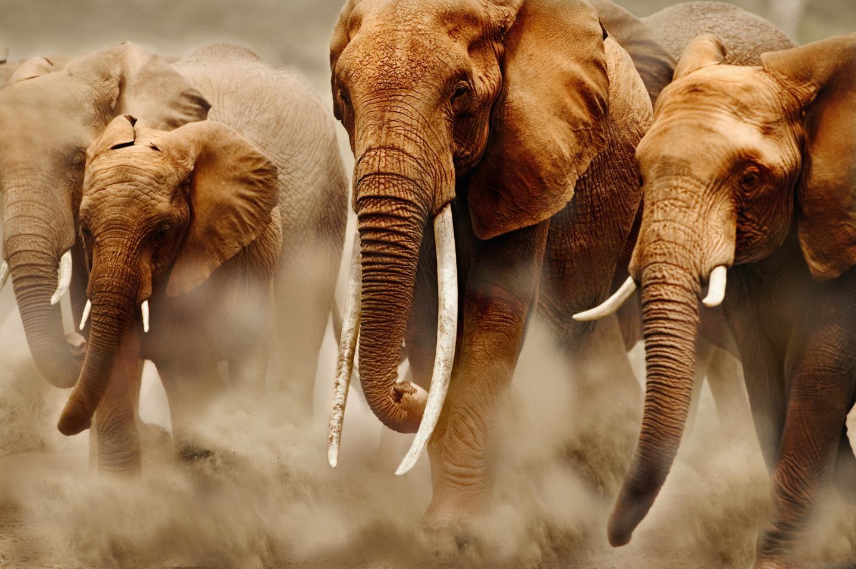 East Africa Elephant