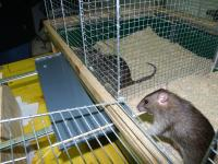 Two shiny rats in cages with dividing wall