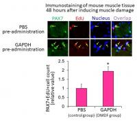 Exposure to leaking metabolic enzymes promotes proliferation of satellite cells after muscle injury