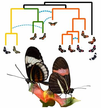 A coalescent phylogenetic network of the H. erato/clysonymus/sara clade of Heliconius butterflies.