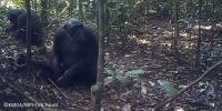 La Belgique chimpanzees