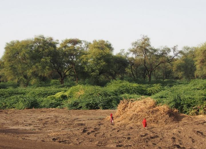 Prosopis clearing in the Afar region of Ethiopia