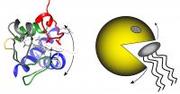 Unfolding of cytochrome c allows it to oxidize cardiolipin