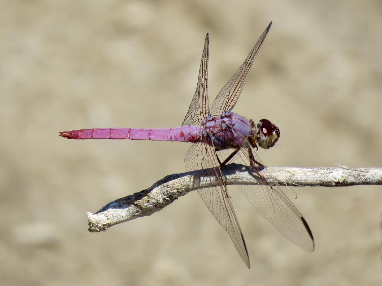 A Dragonfly at the Santa Cruz River