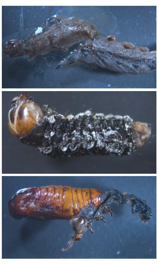 Infected Larvae