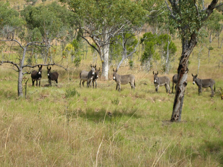 Wild donkeys in Australia