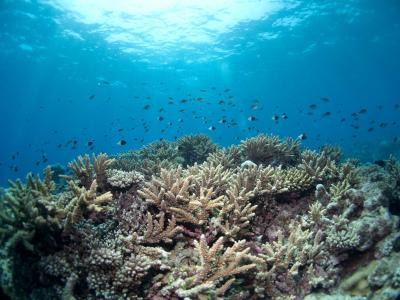 Corals in Mozambique Channel