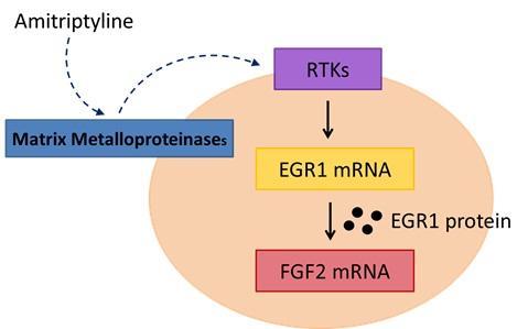 Proposed Cellular Mechanism