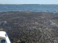 Cladophora Mat Near Little Narragansett Bay