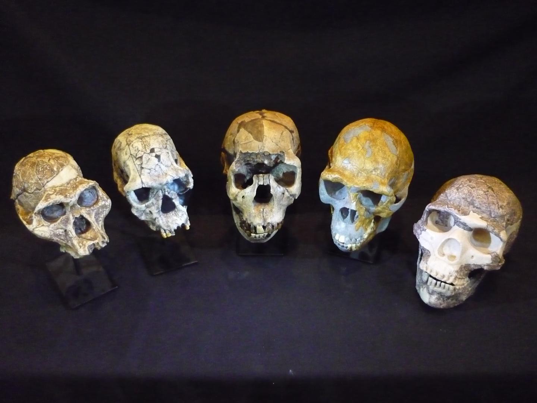 Evolution in Skulls