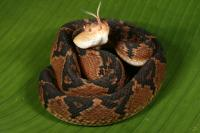 Bushmaster Viper Long Thought by Both Colonists and Natives to Sing