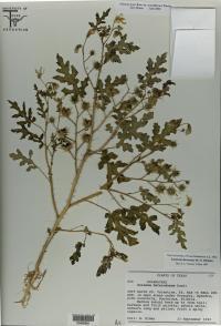 1990 Specimen of Species Now ID'd as <i>S. cordicitum</i>