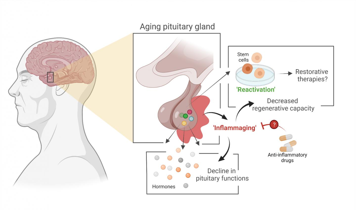 Aging of the Pituitary Gland