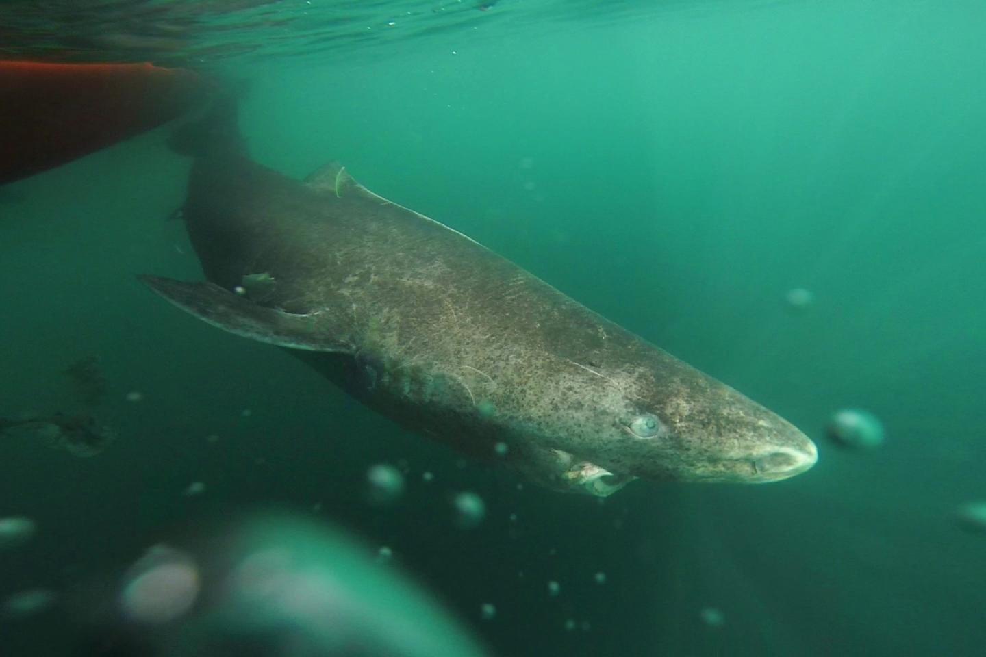 Greenland Sharks Live for Hundreds of Years