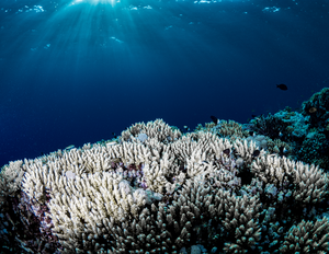 Corals survive the heat with bacterial help