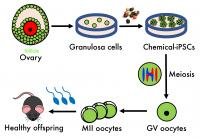 Process Generating Offspring from Granulosa-Derived Eggs